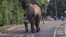 БЕГЛЕЦ! Слон се измъкна и обиколи малък град в Германия