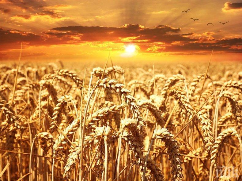 Реколтата на пшеница по-малка с 1 милион тона