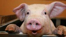 Африканска чума нападна прасетата в Румъния