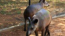 ОПАСНОСТ! Африканска чума мори свинете по границата ни, българските ловци са в ужас