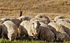СМЪРТОНОСНО! Откриха чума по овцете в Ямболско