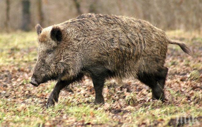 В Добруджа започва лов на диви прасета заради африканска чума