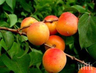 С аромат на кайсии! Тутракан отбеляза Празника на летния плод