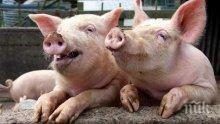 ТРЕВОЖНО! Увеличат се огнищата на африканска чума по свинете в Румъния