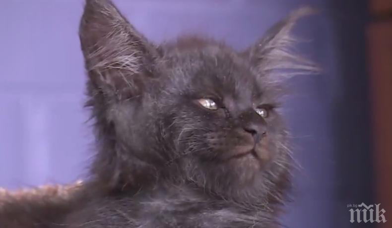 ХИТ В НЕТА! Вижте котето Химера, което има човешко лице (ВИДЕО)