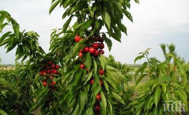 50% от черешите в Кюстендилско останаха необрани