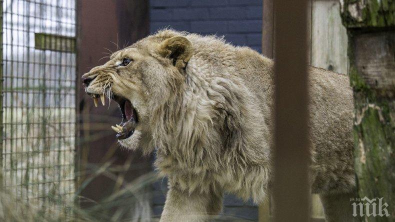 Нови обитатели - зоокътът в Пазарджик се сдоби с два лъва