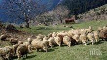 Отпуснаха пари на бунтуващи се животновъди