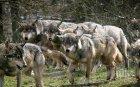 Идат вълци от Чернобил