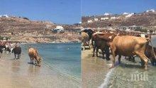 ШОК НА БАРОВСКИ ПЛАЖ! Крави нахлуха сред туристите на Миконос (СНИМКИ)