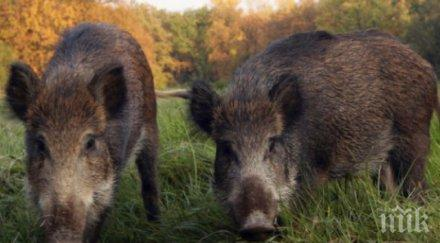 Заради чумата: Ловците обявиха тотален бойкот на лова на диви прасета!
