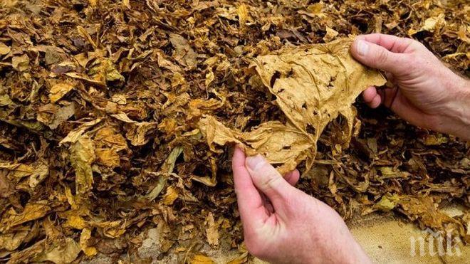 Производители искат по-висока изкупна цена за тютюна тази година
