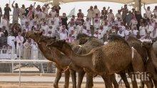 ЗАПОВЕД! Саудитска Арабия забрани тунинговането на камили