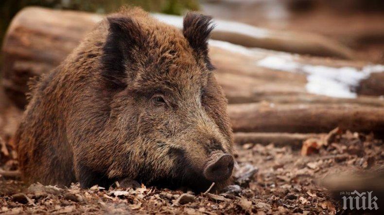 ЗАПОЧНА СЕ! Намериха труп на диво прасе край Шабла