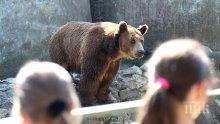 Разхлаждат мечките в зоопарка със... сладолед