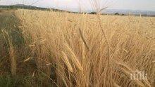 Само 50% от пшеницата от новата реколта става за хляб
