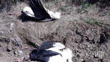 УЖАС! 130 мъртви щъркела намериха край Бургас