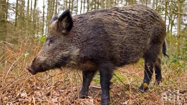 Диви прасета изровиха арената за рок феста в Дъбрава