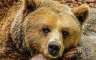 Спасиха мечка от бракониерски капан край Павел баня