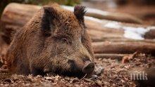 ЗАРАДИ ЧУМАТА! Наложиха ограничения за лова на диви свине