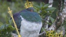 """Отличници! """"Пияни"""" гълъби бяха избрани за птица на годината в Нова Зеландия"""