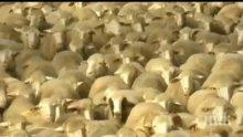 НЕВИЖДАНО: Хиляди овце блокираха булевард в Мадрид (СНИМКИ)
