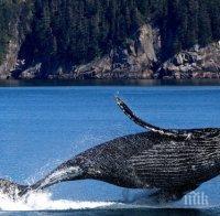Огромен 18-метров кит заседна на плаж