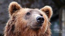 Откриха 210-килограмова мечка в Централен Балкан, над Априлци