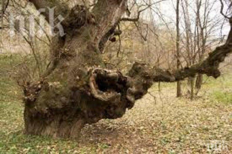 """Чудо! """"Бременно"""" дърво помага на бездетни"""