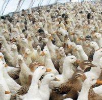 МОР: Птичи грип тръшна 1970 патици