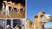 Хит: В полицията на Абу Даби се появиха патрули на ... камили