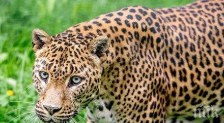 шок леопард отвлече уби годишно дете