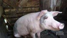БАБХ с ценен съвет: Не гледайте прасета в задните си дворове