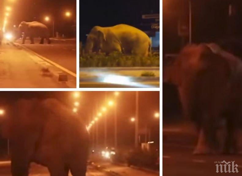 Среднощна разходка: Див слон предизвика паника по улиците на тайландски град (ВИДЕО)