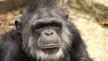 НЕ Е ВИЦ: Шимпанзета си построиха стълба и офейкаха от клетка в зоопарк (ВИДЕО)