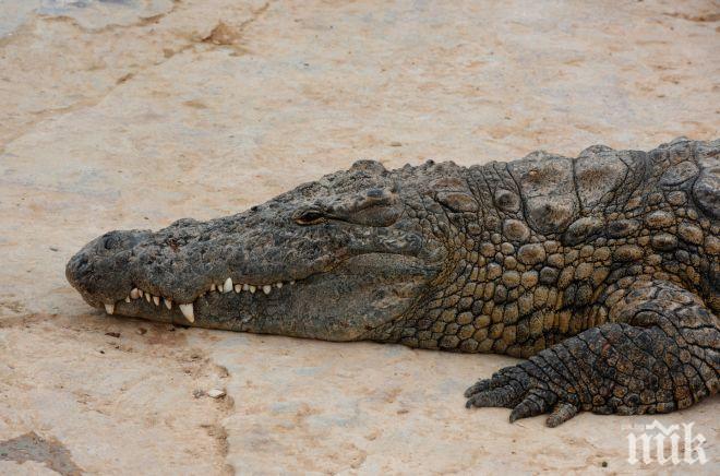 Крокодил уби мъж пред очите на племенника му