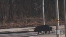 ГРУХ-ГРУХ: Прасета щъкат по пловдивски булевард