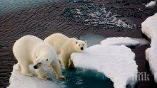 Белите мечки изчезват заради глобалното затопляне