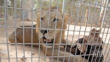 КУРИОЗ: Арестуваха млад лъв, бутнаха го в ареста за цяла нощ