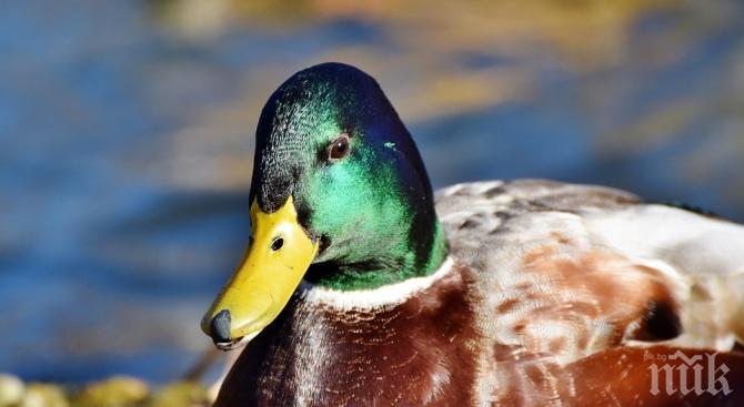 Откриха патици с птичи грип в ловешко село