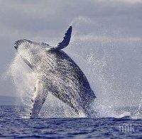 НОВА СМЪРТ В МОРЕТО: 23 килограма пластмаса убиха бременен женски кит (СНИМКИ)
