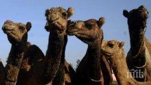 КУРИОЗИТЕ В ПЛОВДИВ ПРОДЪЛЖАВАТ: Няма зоопарк, но кметът Тотев купува камили от Словакия за 20 бона