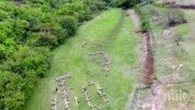 Нестандартно: Овце изписаха специален йероглиф в чест на новия император в Япония