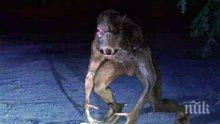 МИСТЕРИЯ: Митичната Чупакабра се появи в австралийски гори (ВИДЕО)