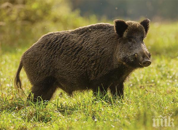 НАПАСТ: Диви прасета вилнеят в Русенско