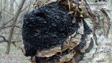 Дървесна гъба от бреза мори рака (РЕЦЕПТА)