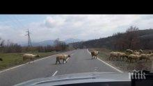 Стадо овце сблъска камион и цистерна на кръгово кръстовище