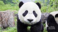 Китай наблюдава големите панди с нова технология