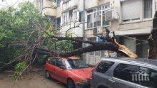 Дърво се разцепи и премаза коли във Варна (СНИМКИ)