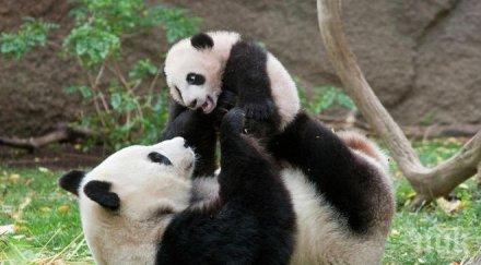 АРМАГАН: Китай подари две панди на Русия